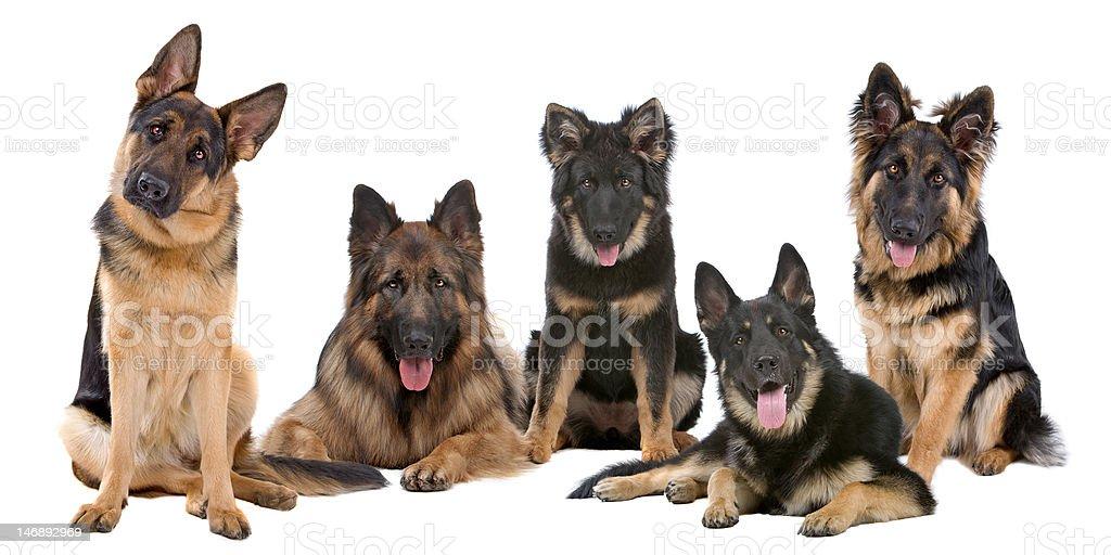 Groupe de chiens de Berger allemand - Photo