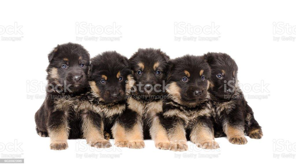 Group of German Shepherd puppies stock photo