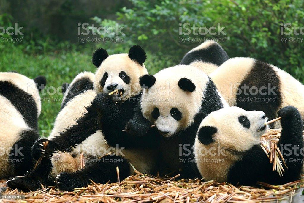 Group of giant panda eating bamboo Chengdu, China stock photo