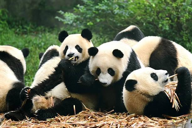 groupe de panda géant manger en bambou chengdu, chine - panda photos et images de collection