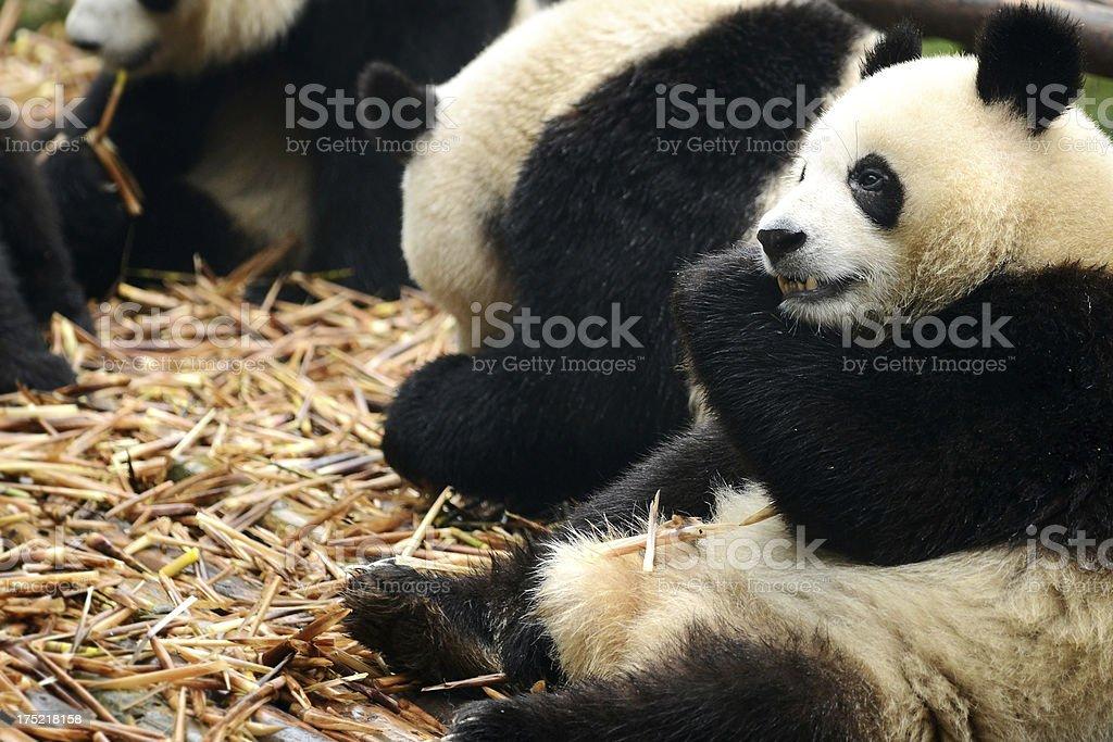 Group of giant panda eating bamboo Chengdu, China royalty-free stock photo