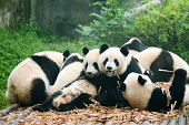 """Group of giant panda eating bamboo, ChinaMore Panda image:"""