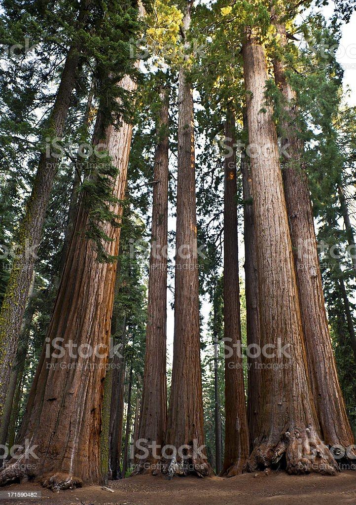 Group of Giant Sequoias in National Park California USA stock photo