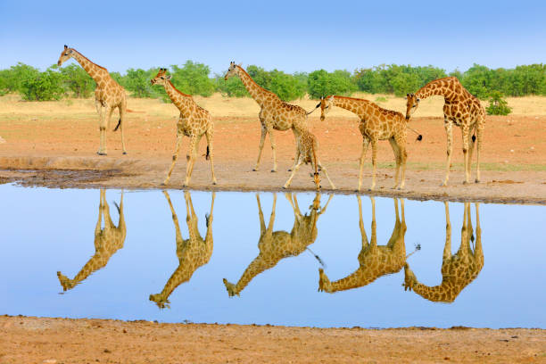 Group of giraffe near the water hole, mirror reflection in the still water, Etosha NP, Namibia, Africa. A lot of giraffe in the nature habitat, African wildlife. Big animals with blue sky. stock photo