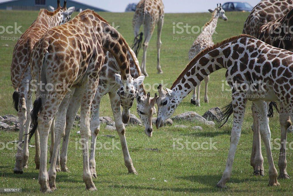 Group of giraffe on safari trip royalty-free stock photo
