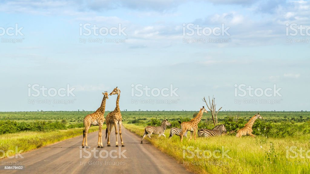 group of giraffes and zebras crossing the road stock photo