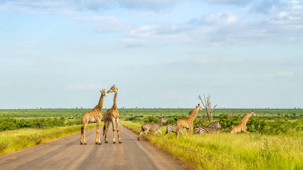 group of giraffes and zebras crossing the road group of giraffes and zebras crossing the road in kruger park, South Africa kruger national park stock pictures, royalty-free photos & images