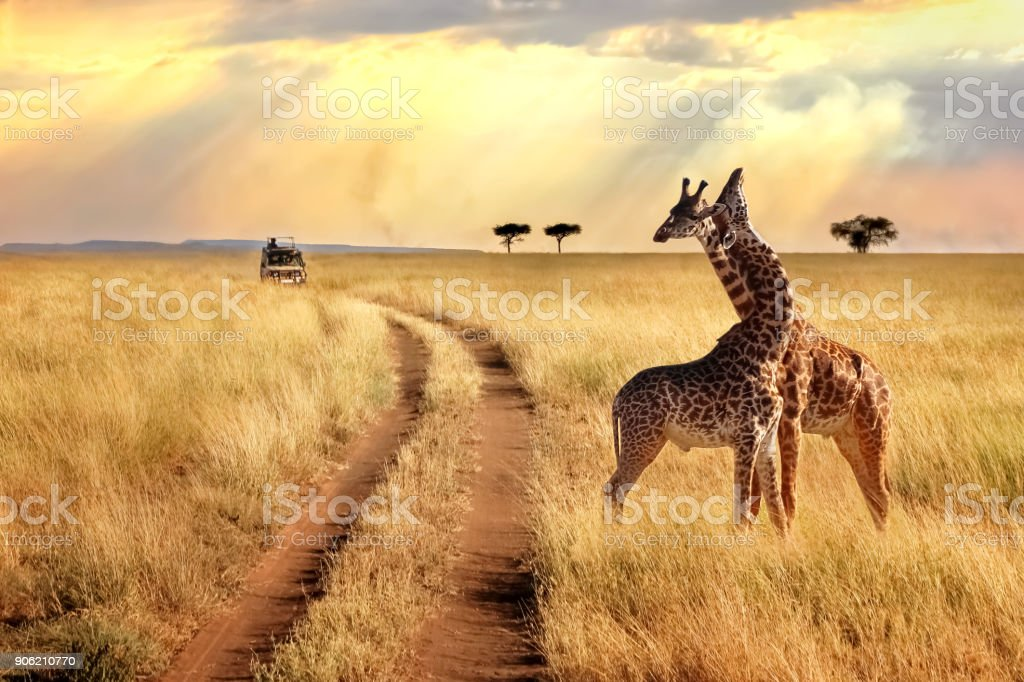 Group of giraffes in the Serengeti National Park on a sunset background with rays of sunlight. African safari. stock photo