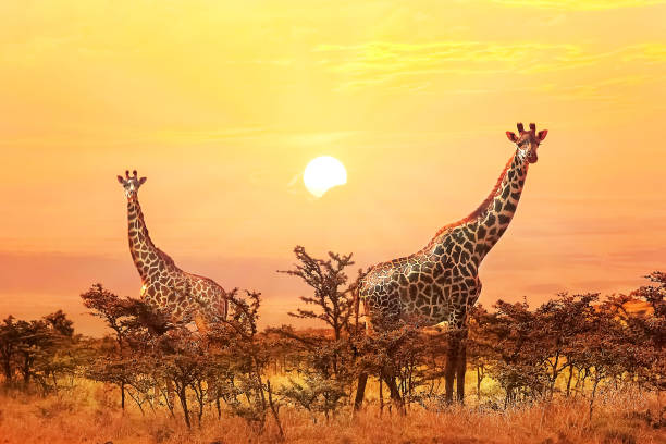 Group of giraffes on sunset background. Group of giraffes on sunset background. masai mara national reserve stock pictures, royalty-free photos & images