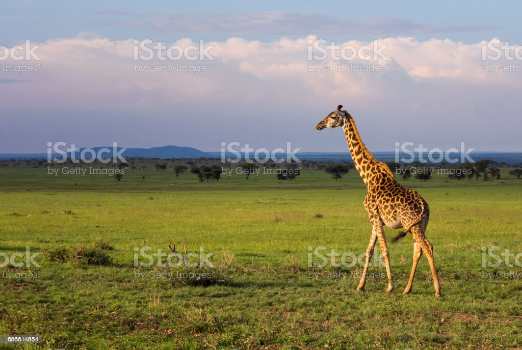 Group of giraffes walking in savannah. Tanzania, Serengeti royalty-free stock photo
