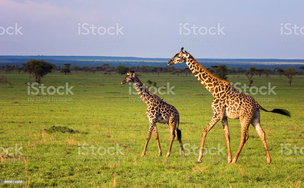 Group of giraffes walking in savannah. Tanzania, Serengeti 免版稅 stock photo