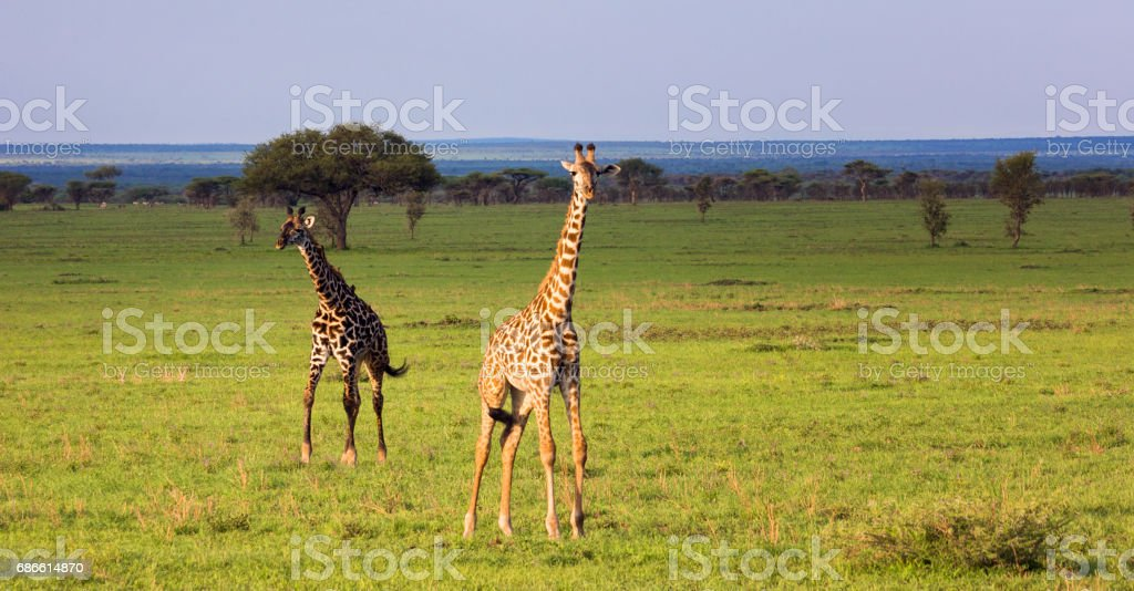 Group of giraffes walking in savannah. Tanzania, Serengeti royalty-free stock photo