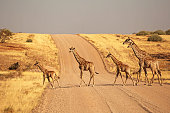 Group of Giraffes Walking on the gravel road in Namibia