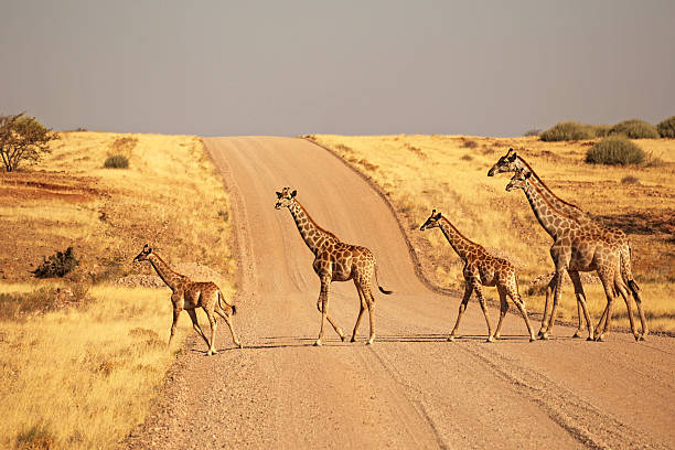 Group of Giraffes Walking on the gravel road in Namibia stock photo