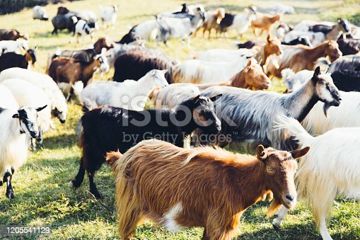 Goats grazing on the meadow in the Carpathian mountains during bright sunny sunrise, Ukraine