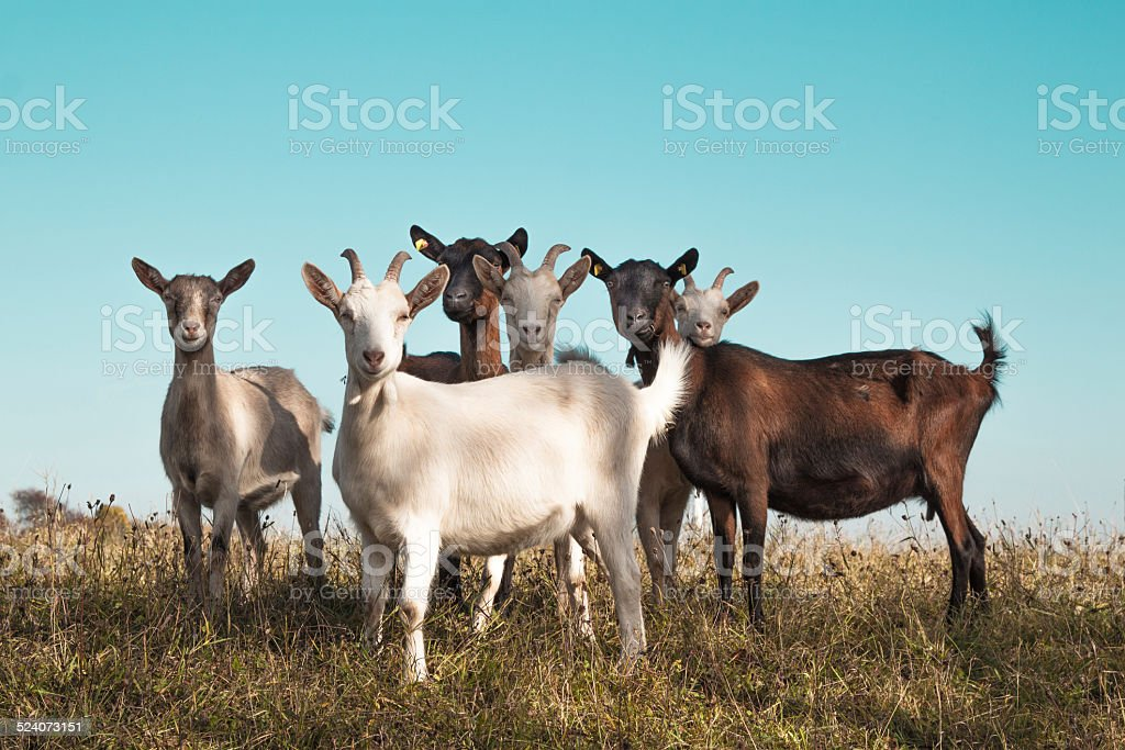 Group of goats stock photo