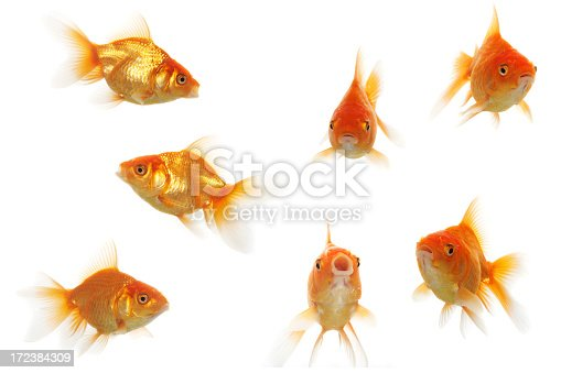 Group of gold fishes isolated on white background