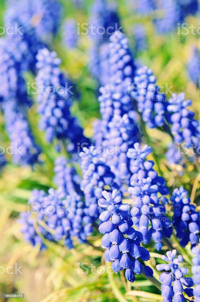 group of Grape Hyacinth blooming on a garden path stock photo