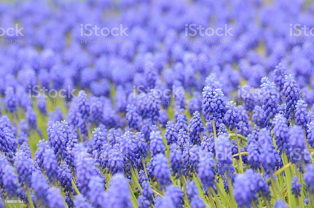 group of Grape Hyacinth on a garden path stock photo