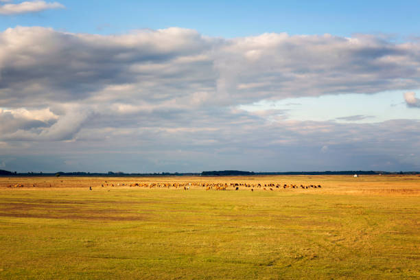 group of grazing cattle in the puszta in the hungarian hortobagy - great plains stock photos and pictures