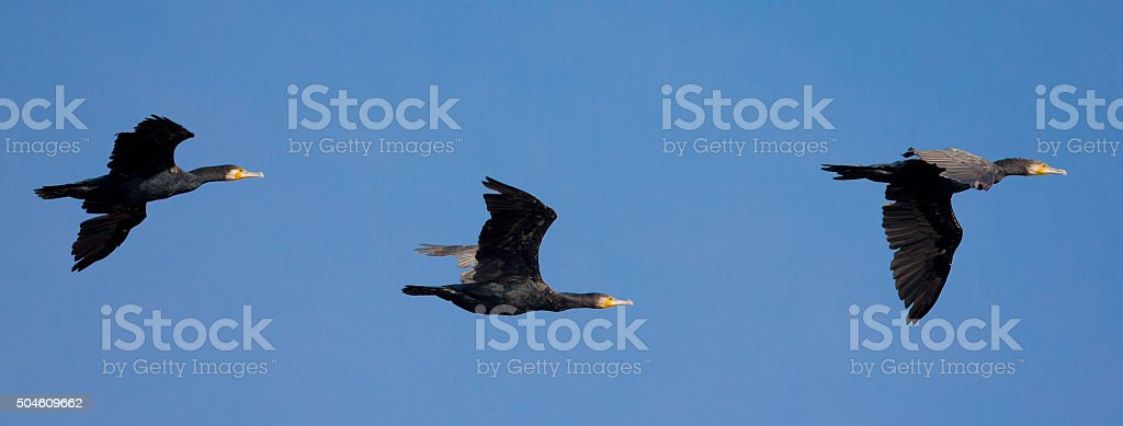 Group of Great Cormorant (Phalacrocorax carbo) in flight stock photo