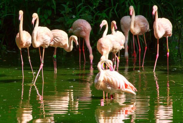 Eine Gruppe von größeren Flamingos an einem See mit gute Spiegelbild im Wasser – Foto