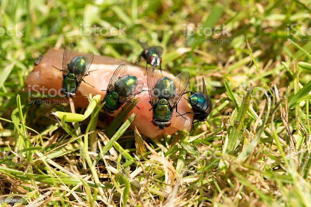 Group of Green Bottle flies feeding stock photo