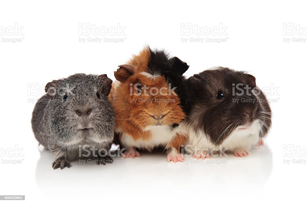 group of guinea pigs with fur in different colors stock photo