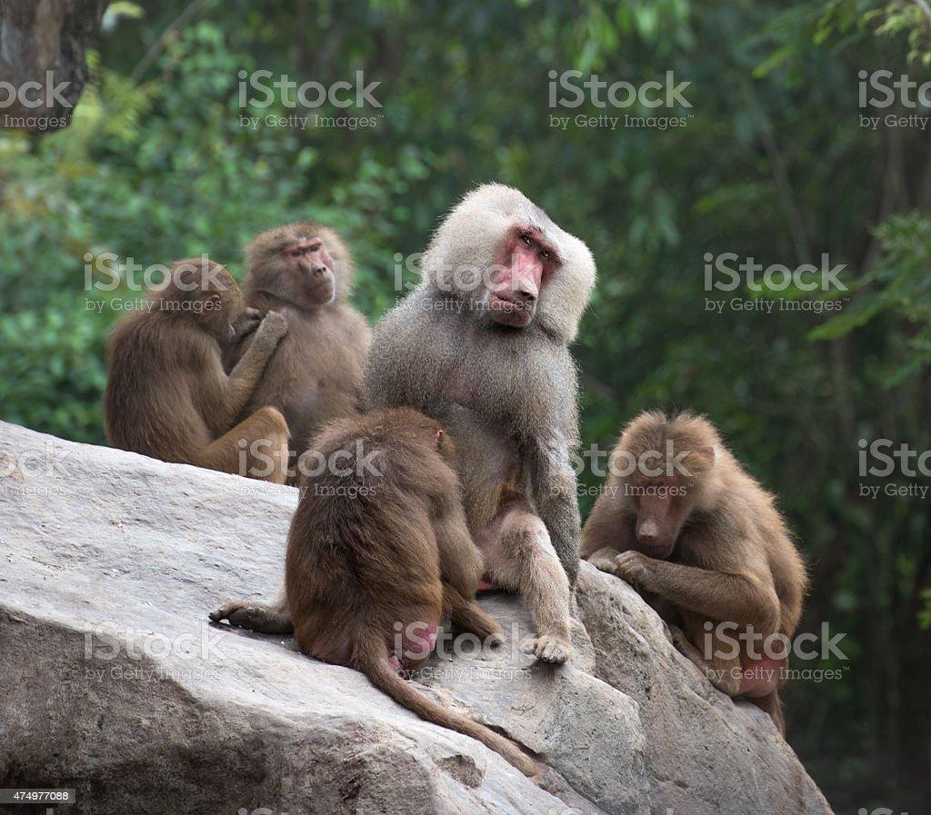 Group of Hamadryas baboon monkeys resting on a rock stock photo