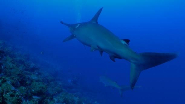 Group of Hammerhead shark swimming in undersea reef, Galapagos stock photo