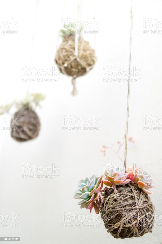 Group of Hanging Succulent Plants Kokedama royalty-free 스톡 사진