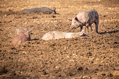 Group of happy, contented pigs wallowing in mud on an organic pig farm