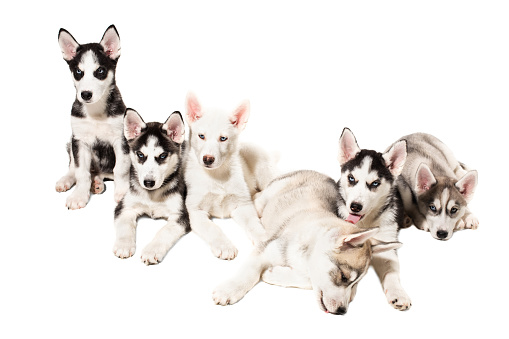 Group Of Happy Siberian Husky Puppies On White Background Stock Photo & More Pictures of Animal