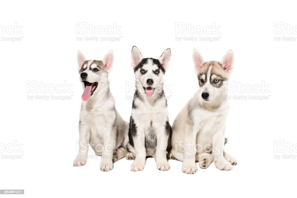 Group of happy siberian husky puppies on white background royalty-free stock photo