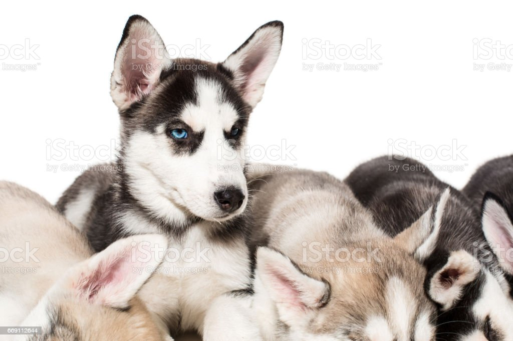 Group Of Happy Siberian Husky Puppies On White Stock Photo Download Image Now Istock