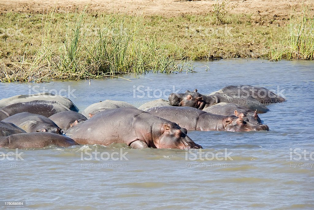Group of Hippopotamus (H. amphibius) resting in the Water foto