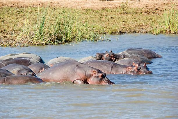 Group of Hippopotamus (H. amphibius) resting in the Water stock photo