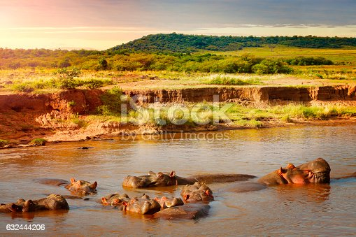 Group of hippos in Mara river in morning light