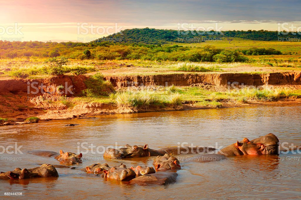 Group of hippos in Masai Mara reserve in Kenya stock photo