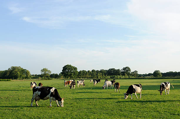 Group of holstein cows in a meadow Some others: dairy cattle stock pictures, royalty-free photos & images