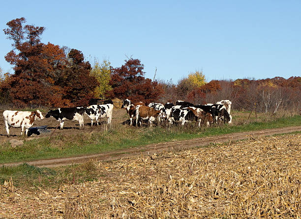 group of Holstein cows stock photo