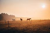 Group of horses, autumn morning mist