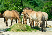 group of horses eating grass and hay on a sunny afternoon in summer