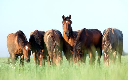 Group of Belorussian horses outdoor in a meadow in summertime.