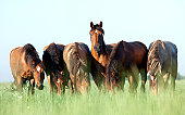 Group of Belorussian horses outdoor in a meadow in summertime.