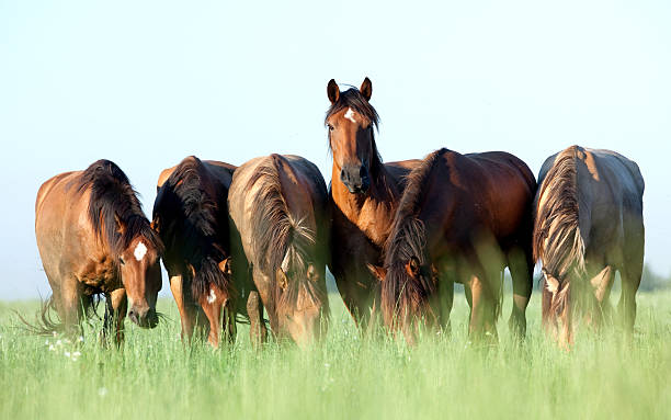 Group of horses grazing in a meadow. Group of Belorussian horses outdoor in a meadow in summertime. animal markings stock pictures, royalty-free photos & images
