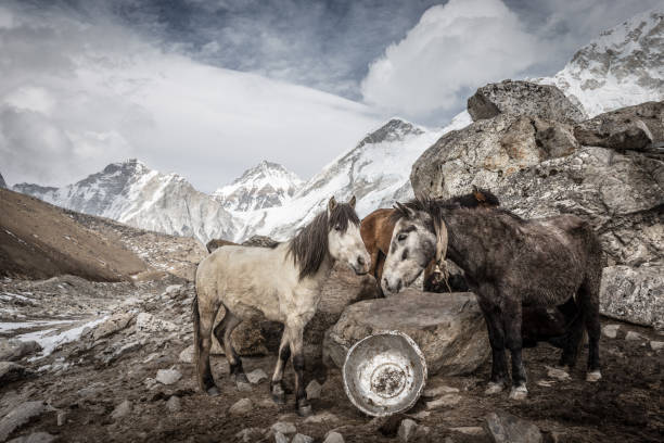 Group of horses huddling in the freezing cold at Mount Everest Basecamp stock photo