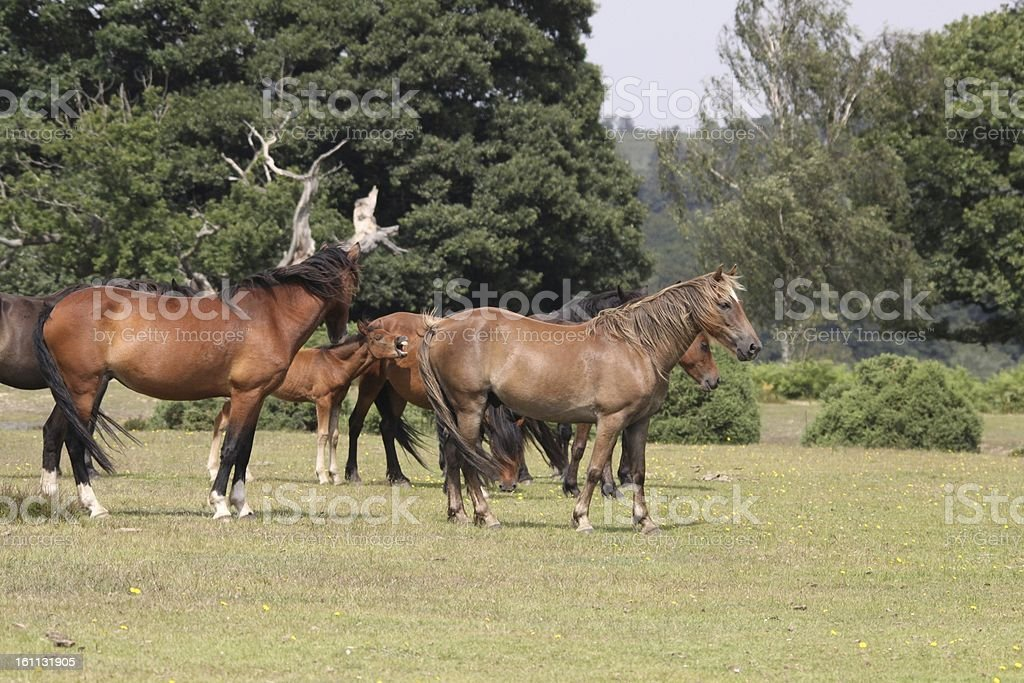 group of horses new forest national park royalty-free stock photo