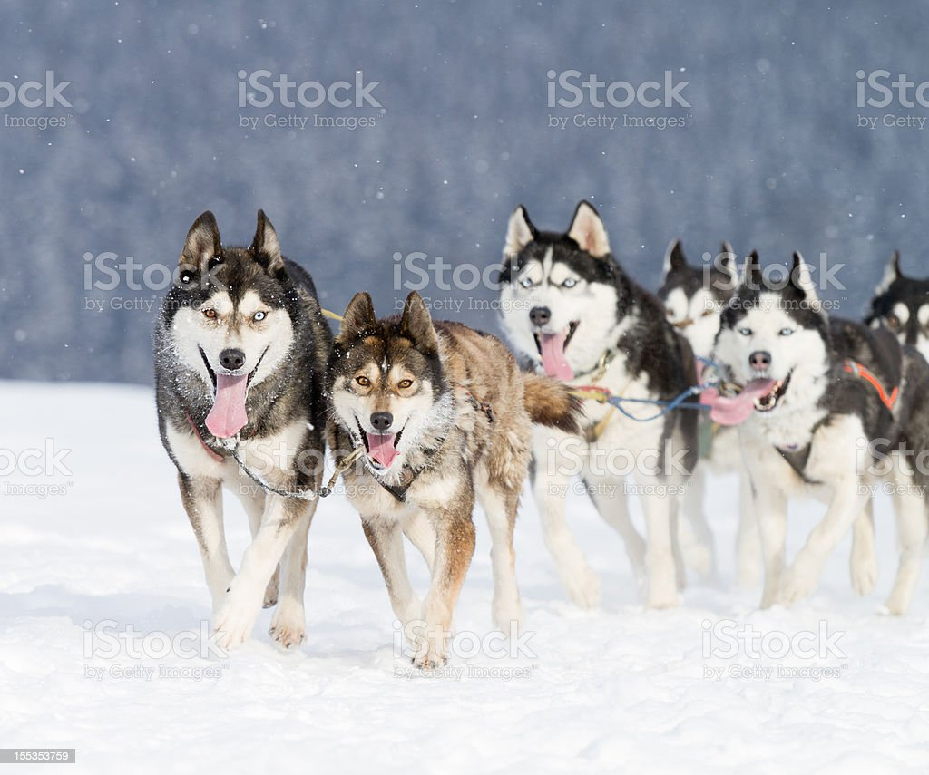 Group of husky sled dogs running in snow (XXL) royalty-free stock photo