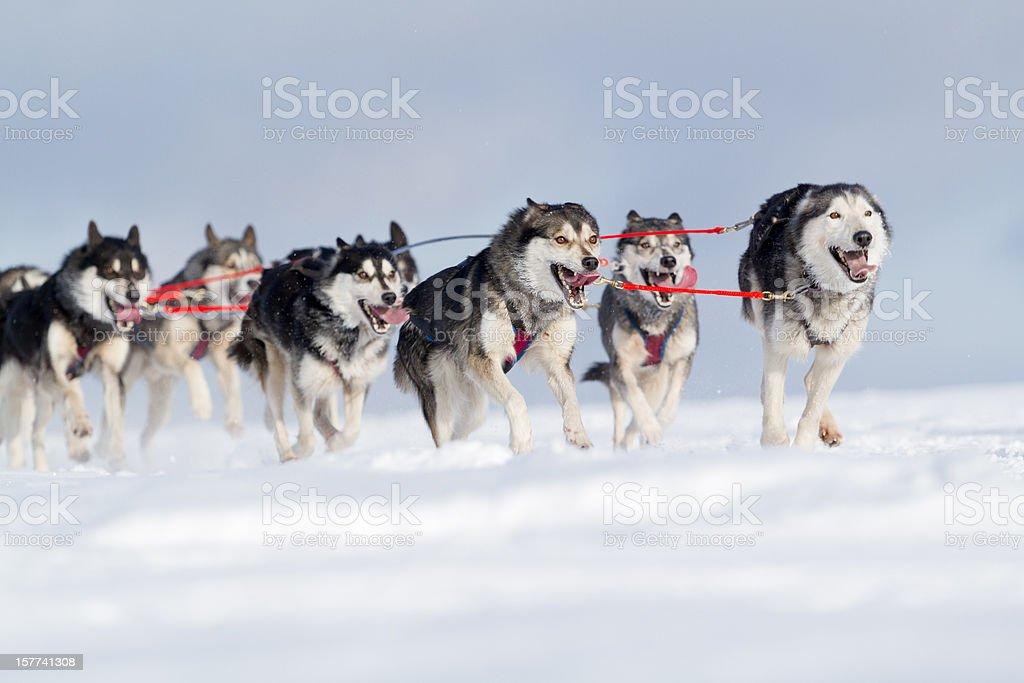 Gruppe von husky Schlitten Hunde Laufen im Schnee – Foto